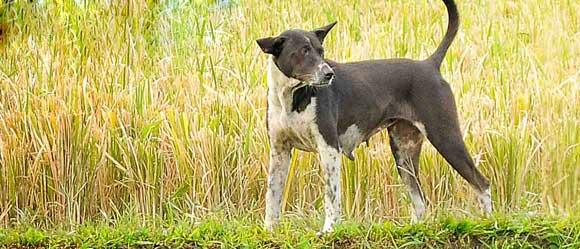 Bali Animal Welfare Association Heritage Dog