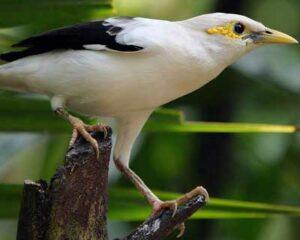 Black-winged Starling