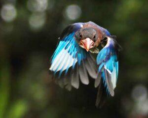 Java Kingfisher