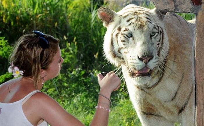 Ranthambore Key Exhibits India White Tiger