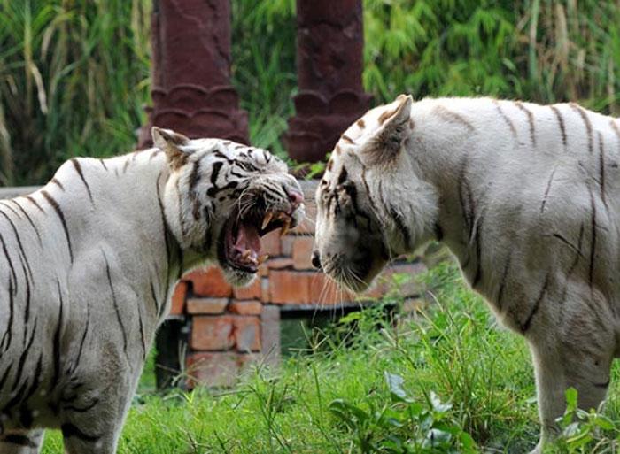 Indian White Tiger In Bali