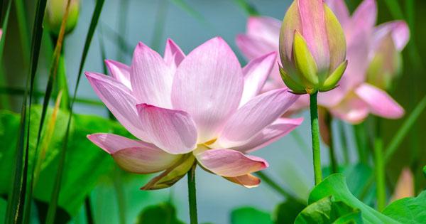 Lotus Flower Pond Temple