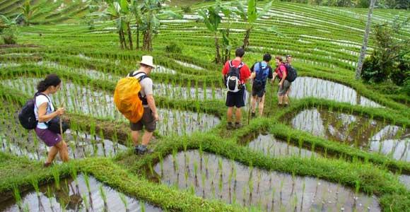 Jatiluwih Rice Terrace Trekking Activity