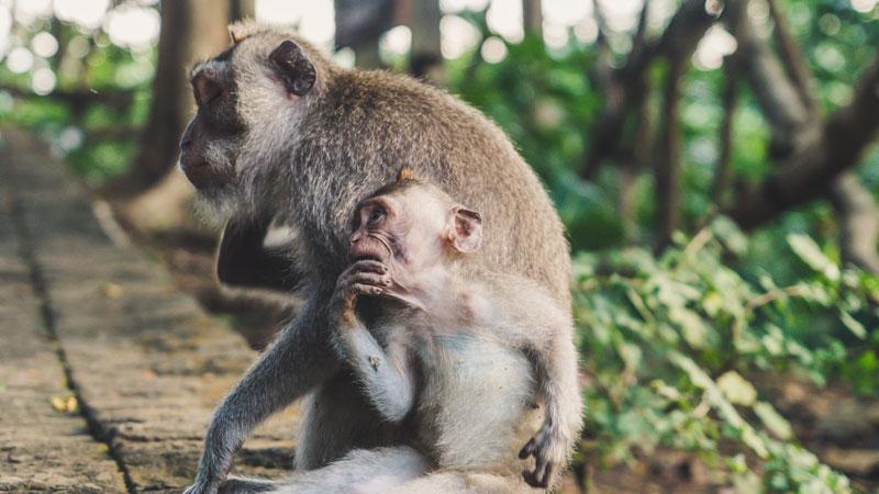 Bali Long Tail Gray Monkey