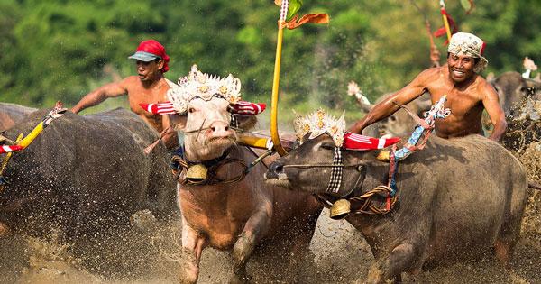 Mekepung Buffalo Race Jembrana Bali