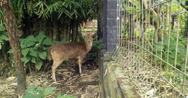 Deer in Bedugul