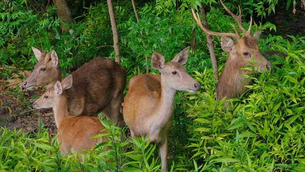 Observing Menjangan Island Deer